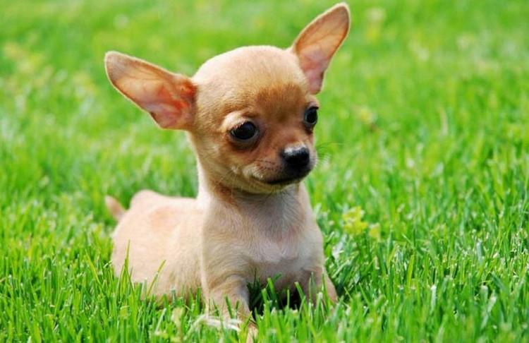 Маленький щенок чихуахуа в траве