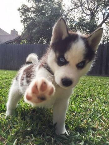 Маленький щенок хаски