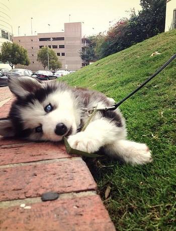 Щенок хаски в траве