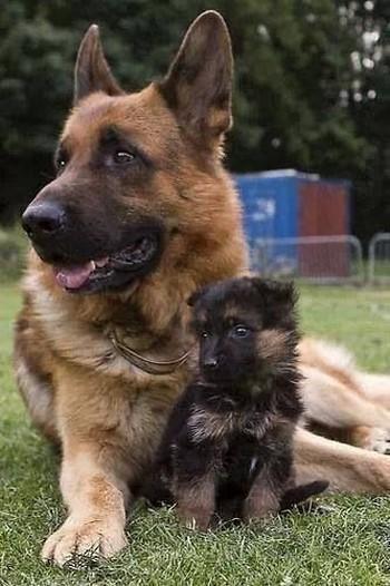Щенок и взрослая немецкая овчарка