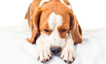 Собака грустит