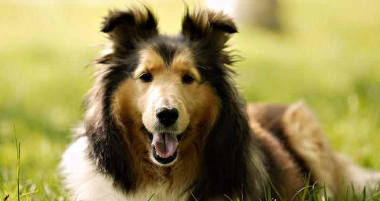 Собака колли на полянке