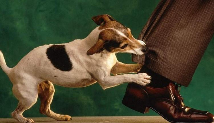 Собака кусает за штанину