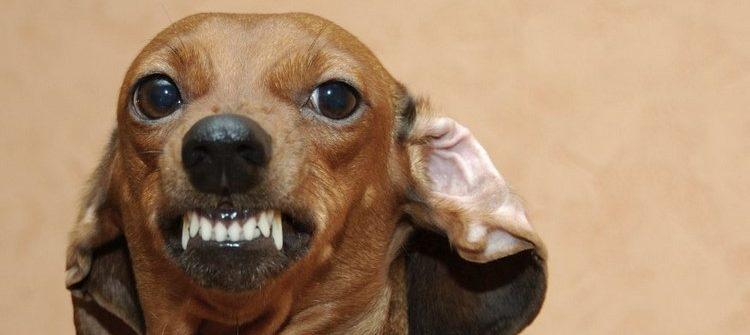 Собака скалит пасть